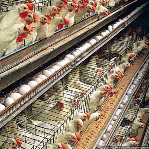 We Are A Manufacturer Supplier And Exporter Of Poultry Layer